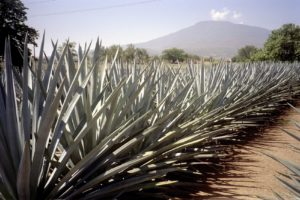 『リュウゼツランの景観とテキーラ村の古式産業施設群』(メキシコ合衆国)