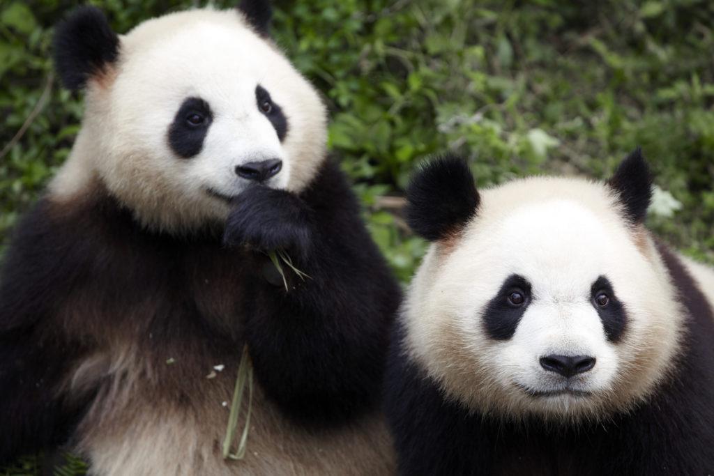 四川省のジャイアントパンダ保護区群(中華人民共和国)