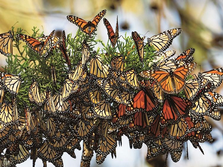 オオカバマダラ蝶生物圏保存地域(メキシコ合衆国)